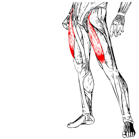 Vector concept 3D human upper leg anatomy or anatomical and muscle isolated