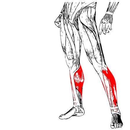 Concepto Del Vector O Humano Conceptual 3D Anatomía Inferior De La ...