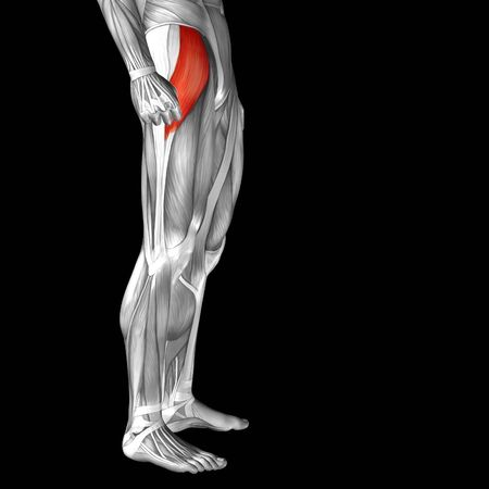 rectus: Conceptual 3D human front upper leg muscle anatomy isolated on black background