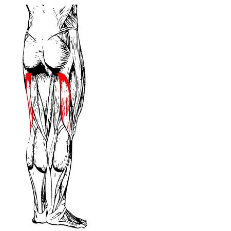 upper leg: Conceptual 3D human upper leg anatomy or anatomical and muscle isolated on white
