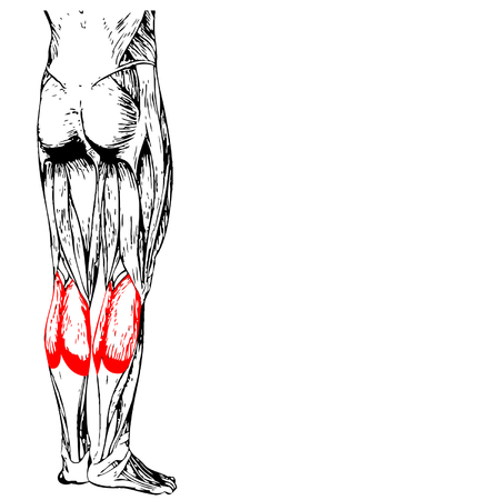 gastrocnemius: Concept conceptual 3D human lower leg anatomy or anatomical and muscle isolated on white background