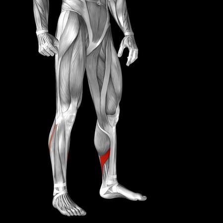 anatomie humaine: Conceptuel 3D plan humain jambe anatomie musculaire isolé sur fond noir
