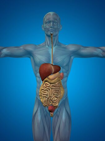 abdomen: Conceptual anatomical human or man 3D digestive system on blue background