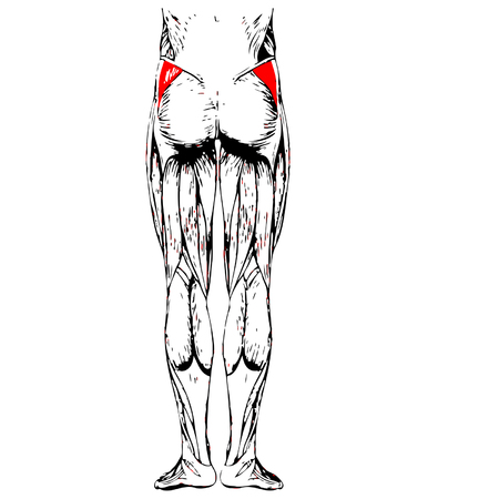 didactic: Conceptual 3D human upper leg anatomy or anatomical and muscle isolated on white