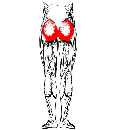 didactic: Concept 3D gluteus maximus leg human anatomy or anatomical muscle isolated on white