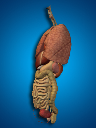 3D human or man internal abdominal or thorax organs for anatomy or health designs on blue background