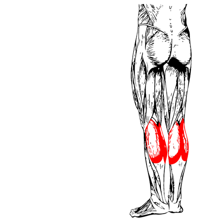 gastrocnemius: Vector concept 3D gastrocnemius human lower leg anatomy or anatomical muscle isolated on white background Illustration
