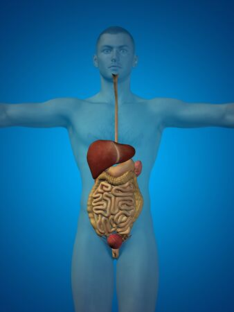 appendix: Conceptual anatomical human or man 3D digestive system on blue background
