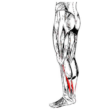 Vector concept 3D human lower leg anatomy or anatomical and muscle isolated on white background