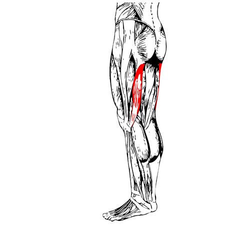 didactic: Vector concept 3D human upper leg anatomy or anatomical and muscle isolated on white background