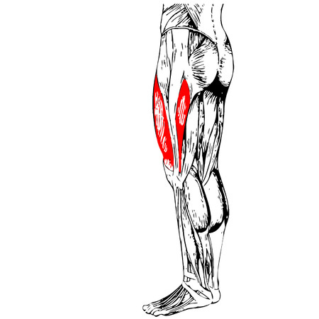 Vector concept or conceptual 3D human upper leg anatomy or anatomical and muscle isolated on white background  イラスト・ベクター素材