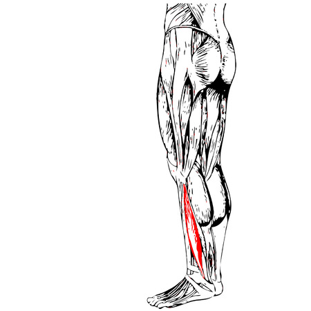 didactic: Vector concept or conceptual 3D human lower leg anatomy or anatomical and muscle isolated on white