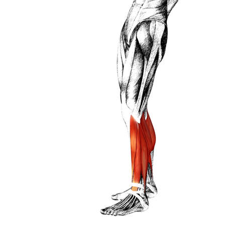didactic: Conceptual 3D human front lower leg muscle anatomy isolated on white background