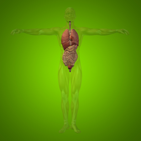 radiogram: Conceptual 3D man with internal organs, digestive, lungs and circulatory system on green background Stock Photo