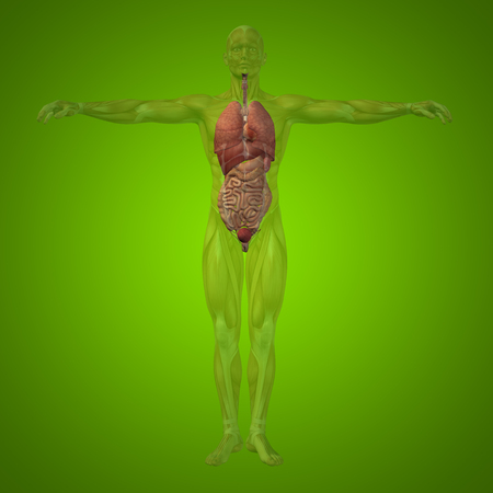 lung transplant: Conceptual 3D man with internal organs, digestive, lungs and circulatory system on green background Stock Photo