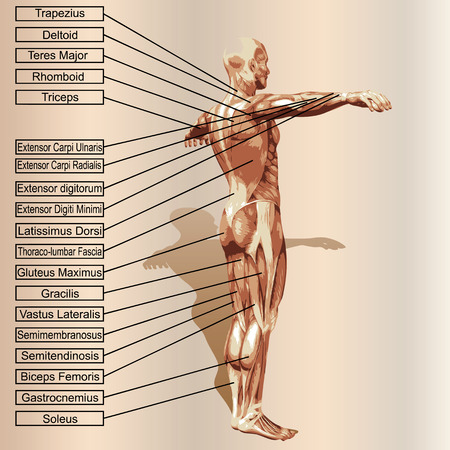 anatomy nude: 3D human male anatomy with muscles and text on beige background