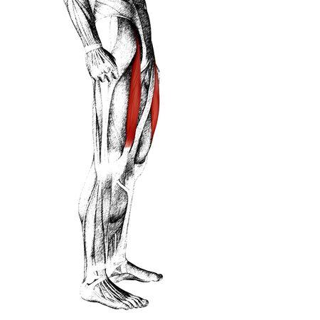 ścięgno: Koncepcyjne 3D człowieka przedniej górnej nogi mięśni anatomii samodzielnie na białym tle