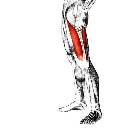 didactic: Conceptual 3D human front upper leg muscle anatomy isolated on white background