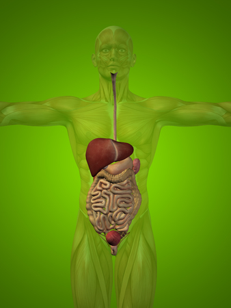 cecum: Conceptual anatomical human or man 3D digestive system on green background Stock Photo