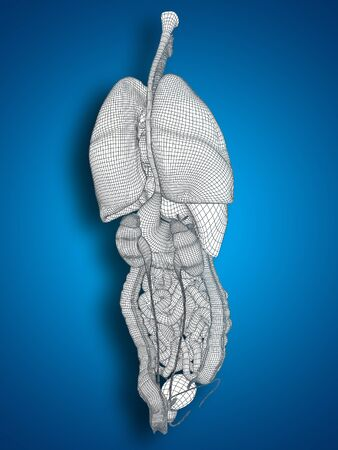 thorax: 3D wireframe human or man internal abdominal or thorax organs for anatomy or health on blue background