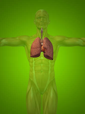 pulmonary artery: Conceptual anatomical human or man 3D respiratory system on green background