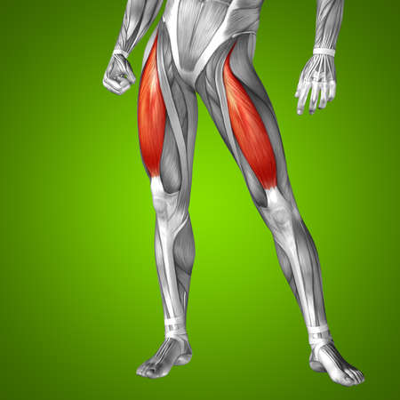 tensor: Conceptual 3D adductor longus human upper leg anatomy or anatomical muscle on green gradient background Stock Photo