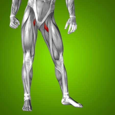 upper leg: Conceptual 3D human front upper leg muscle anatomy on green background