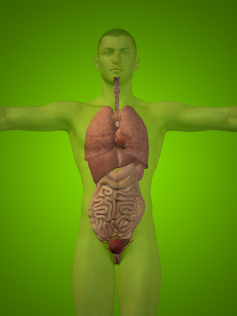 digestive: Conceptual 3D man with internal organs, digestive, lungs and circulatory system on green background Stock Photo