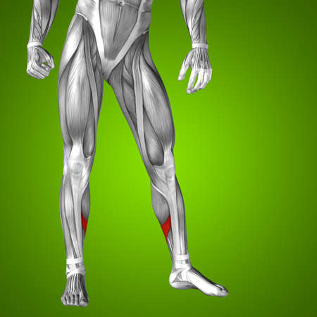Conceptual 3D human front lower leg muscle anatomy on green background