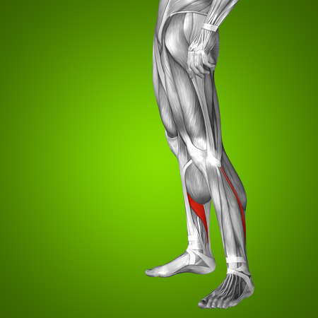 musculature: Conceptual 3D human front lower leg muscle anatomy on green background