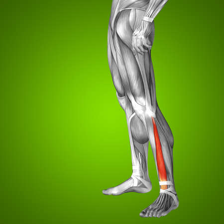 tensor: Conceptual 3D human front upper leg muscle anatomy on green background