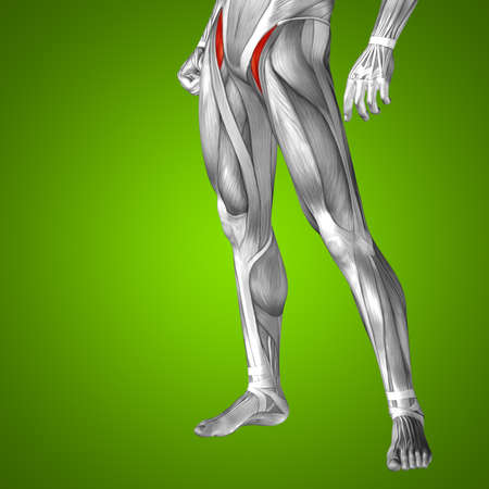 musculature: Conceptual 3D human front upper leg muscle anatomy on green background
