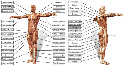 3D man muscle anatomy with text isolated on white background