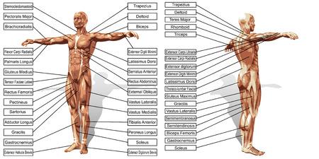 anatomia 3D muscolo uomo con testo isolato su sfondo bianco