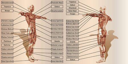 ベージュのビンテージ背景にテキストで 3 D マン筋の解剖学