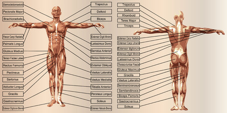 trapezius: 3D man muscle anatomy with text on beige vintage background Stock Photo