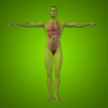 Conceptual 3D man with internal organs, digestive, lungs and circulatory system on green background Stock Photo
