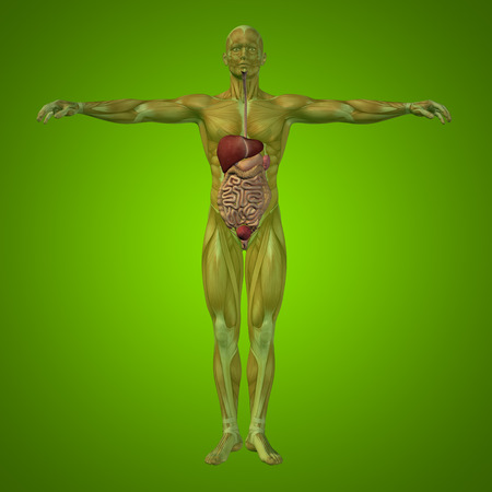 Conceptual anatomical human or man 3D digestive system on green background Stock Photo