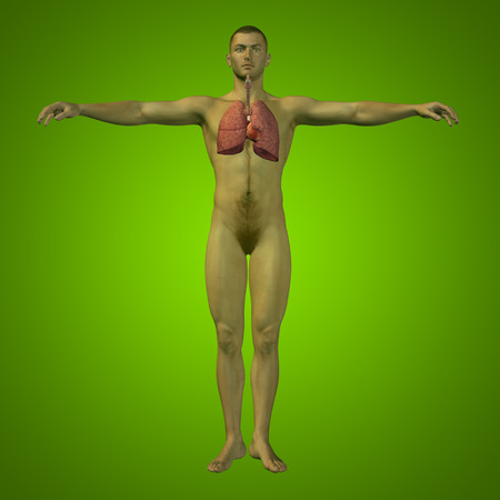 Conceptual anatomical human or man 3D respiratory system on green background