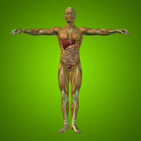 digest: Conceptual anatomical human or man 3D digestive system on green background Stock Photo
