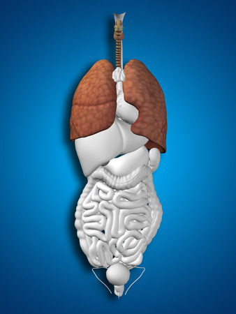 respiration: Conceptual 3D human or man anatomy lung organ and respiratory system on blue background