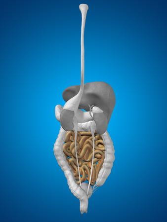 intestino grueso: Concepto conceptual 3D hombre humano anatomía del sistema digestivo en el fondo azul Foto de archivo