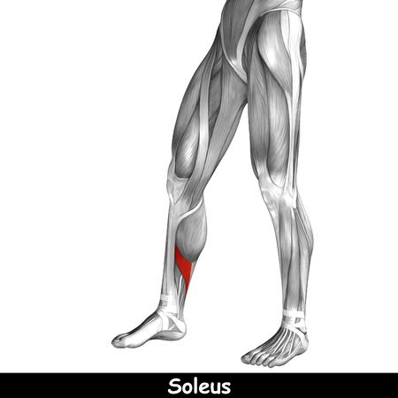 Anatomía, La Musculatura Humana; Pata, El Codillo, La Rodilla Fotos ...