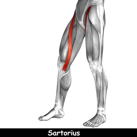 Conceptual 3D human front upper leg muscle anatomy isolated on white background