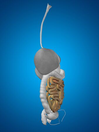 Concept conceptual 3D human man anatomy of digestive system on blue background