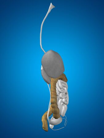 detection: Concept conceptual 3D human man anatomy of digestive system on blue background