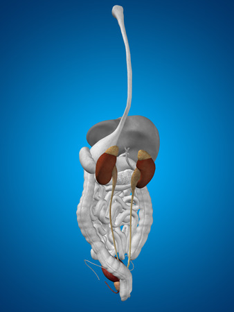 pelvis: Concept conceptual 3D human man anatomy of digestive system on blue background