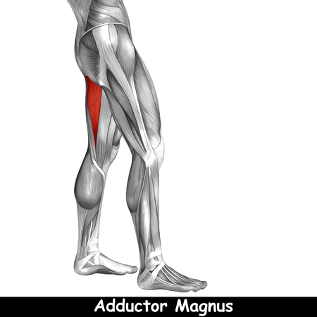 didactic: Conceptual 3D human back upper leg muscle anatomy isolated on black background