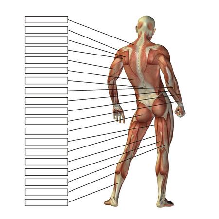 Menschliche Anatomie Des Menschen 3D Mit Den Muskeln Und Textbox ...