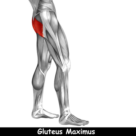 sportive: Conceptual 3D human back upper leg muscle anatomy isolated on black background
